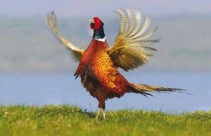Lov na fazana