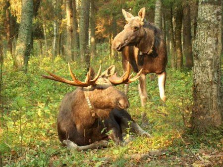 Moose lov sa mamac
