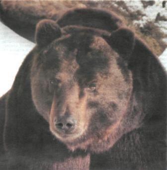 Medvjed lov na Uralu