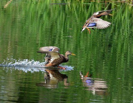 Lov za patke na vyletku s pristupom