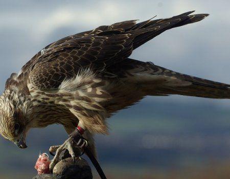 Lov sa Falcon stepski