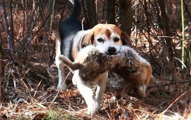 lovačkih pasa
