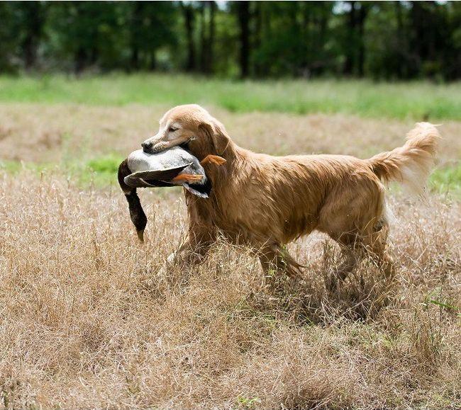 rase lovačkih pasa sa fotografijama