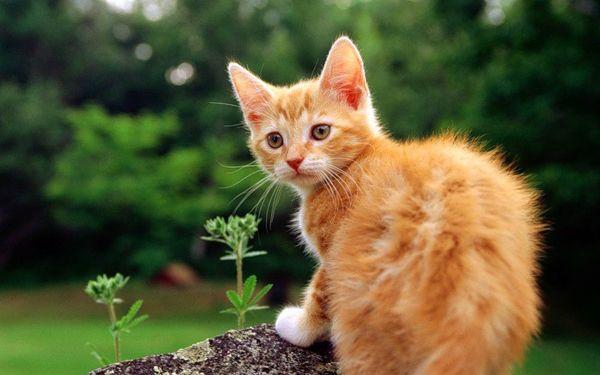 Цвят и характер на котки - червена котка
