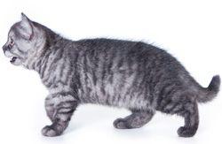 Farba mačkou tigrovanie
