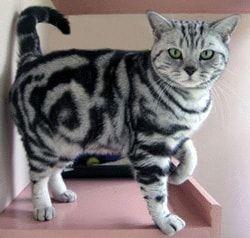 Farba síce mačka mourovatá