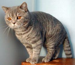 Farba mačkou bodkovaný tabby