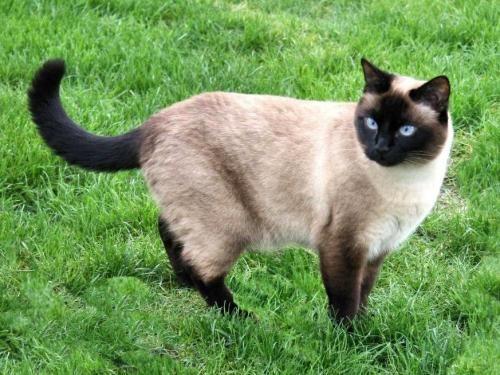 Siamez pisica - forțele de culoare-point