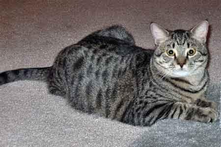 Mačka s farbou srsti mourek