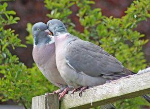 On alebo ona: ako určiť pohlavie holubica príslušnosti