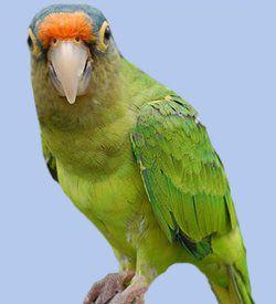 Oranzhevolobaya sau persikovolobaya aratingaaratinga canicularis