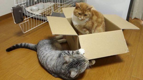 Červená mačka v krabici hrá so sivou mačkou