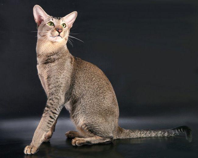 rasa orientala este popular printre cunoscatori pisica