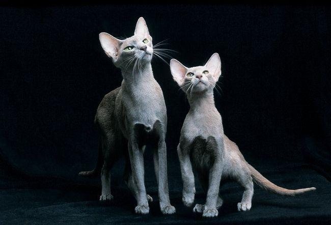 Pisici orientale sunt elegante și grațios