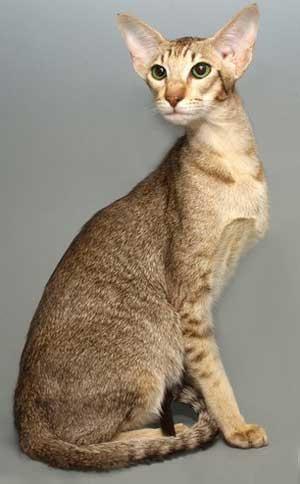 pisica Oriental
