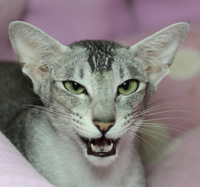 Pisicile pot fi zgomotoase