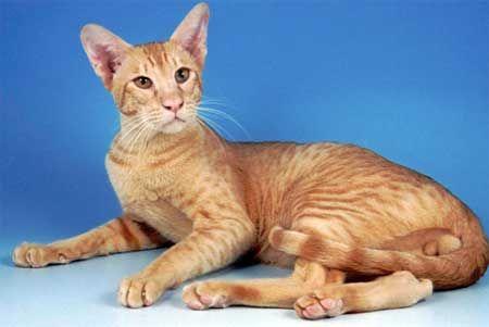 Ориенталски котка порода