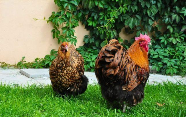 Кокошка и петел Orpington порода