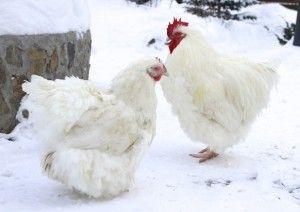 Петел и кокошка Orpington бял цвят
