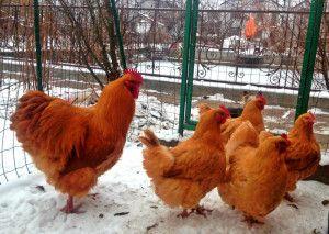 Петел и кокошка Orpington светлобежов