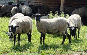 Creșterea ovinelor în gospodărie