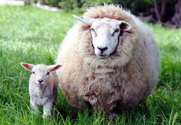 Lână de reproducție rase de ovine