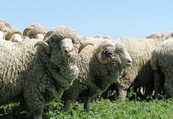 Liderii oi oi cireadă