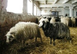Stâna pentru păstrarea oi