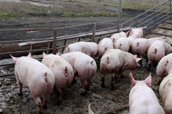 Osnove za početnike svinja
