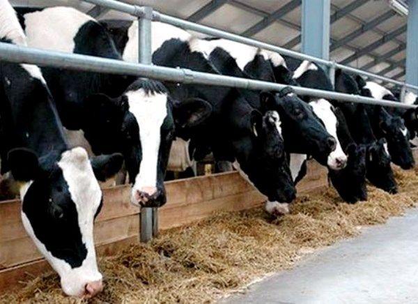 Karakteristike i produktivnost muznih krava crno-šarena