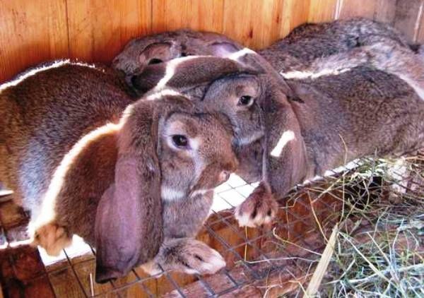 Značajke velika i dekorativne patuljak zečevi ram