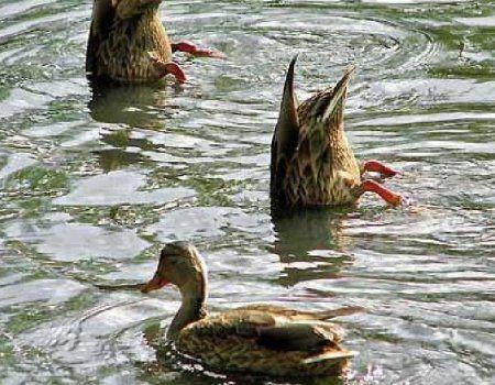 Lov posebno u septembru za patku