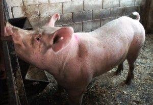 Caracteristici de împerechere și porci de vânătoare sexuale