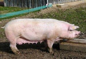 Kako nahraniti uzgoj svinja