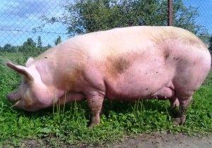 svinja reprodukciju kod kuće