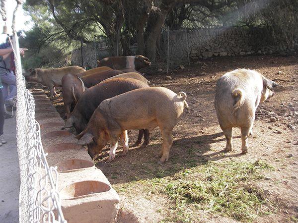 Posebno za svinje na farmi