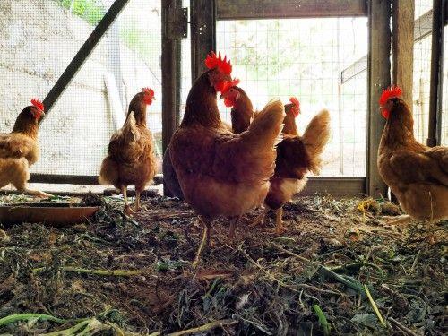De iluminat pentru puii de găină