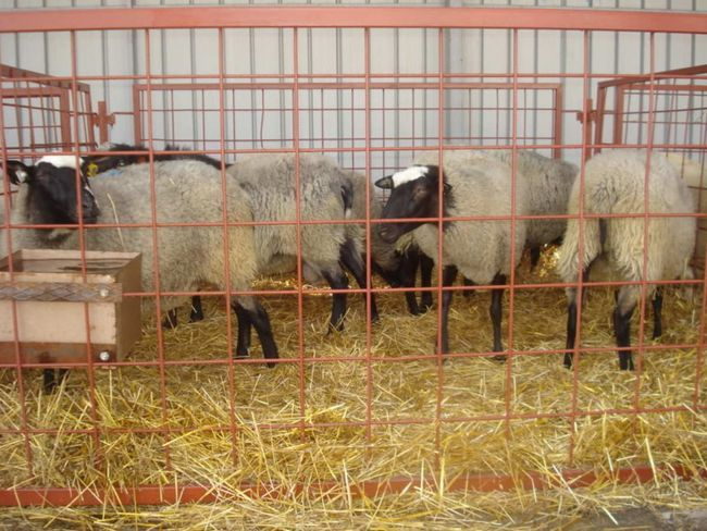 Възрастен овце в специален корпус
