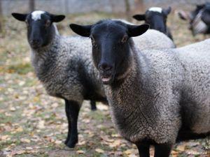 """Rasa de oi """"Selyanochka - portal pentru agricultori, agricultura ..."""