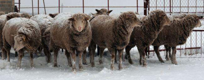 Ovce - je nielen cennou fleece, ale tiež dobré mäso: najlepší mäsových plemien