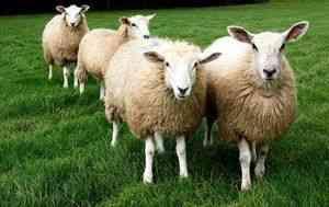 De reproducție din lână de oaie și rase de carne poate deveni o afacere foarte profitabilă, cu condiția ca omul de afaceri a știut cum să abordeze problema ...