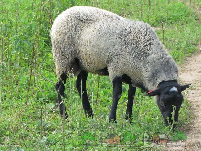 Acasă oi pasc în lunca