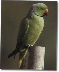Ozherelovy Kramer fotografie papagáj