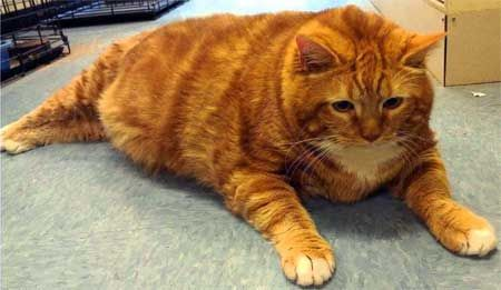 Obezita u mačiek