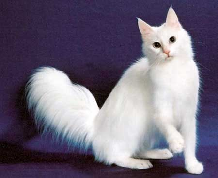 biela mačka