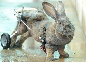 Ochrnutie panvových končatín u králikov: ako vyriešiť problém