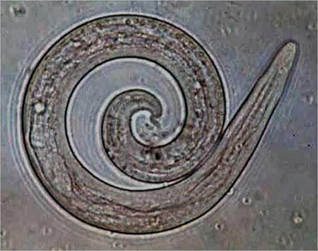 Pľúcne červy u mačiek Aelurostrongylus abstrusus