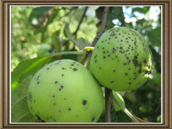Chrastavitosť na jabloniach, ako sa vysporiadať