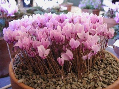 Passionflower sjemena kod kuće