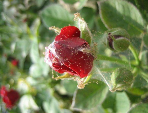Pás o tom, ako bojovať s ružovou izba: spider mite